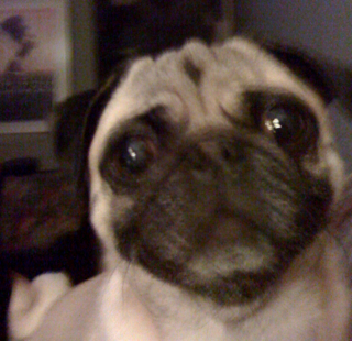More pug spam